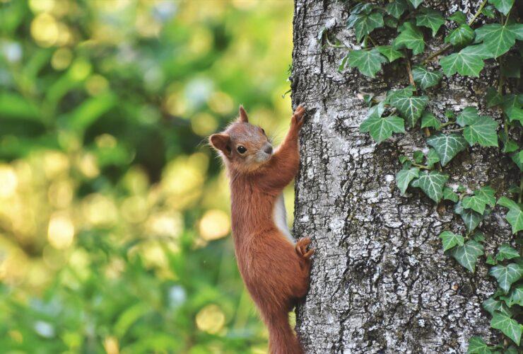 wiewiórka domy lęgowe